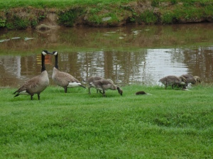 The Geese!!