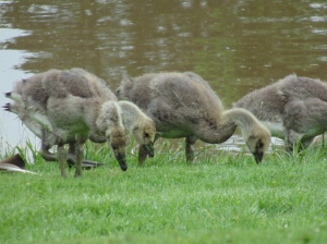 The Baby Geese